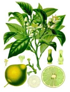 bergamote-planche-botanique