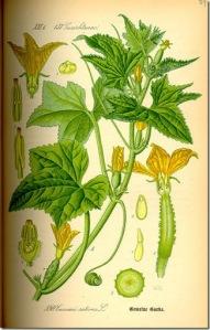 cucumber_planche-botanique